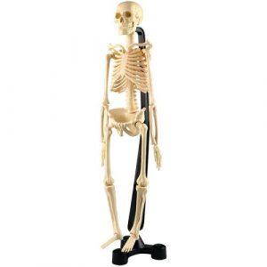 Анатомия человеческого скелета SK046