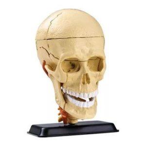 Анатомический набор Голова SK010