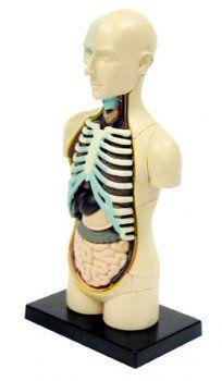 Анатомический набор Тело SK008