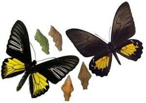 Куколка бабочки тропической