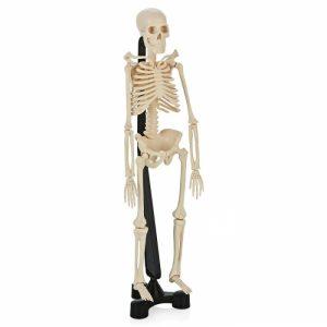 Модель скелета  SK038